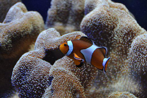 Clown Fish, Nemo, Underwater World, Reef, Anemones