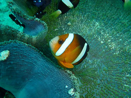Clown Fish, Clown, Anemone, Philippines, Underwater