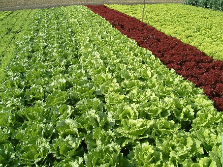 Salad, Salad Land, Growing Vegetables, Colorful Salad