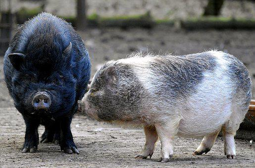 Pigs, Hanging Belly, Bristles, Eyes, Nature