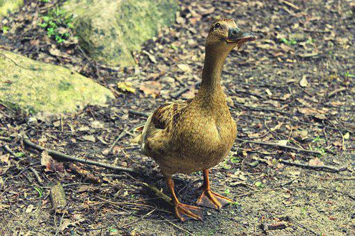 Duck, Female, Brown, Nature, Wild, Bird, Animal