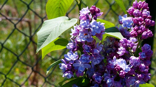 Lilac, Without, Flower, Garden, Nature, Plant, Violet