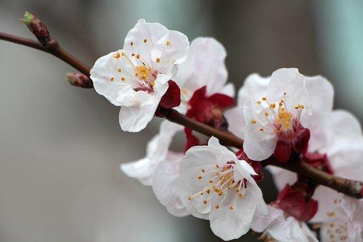 Plum Tree, Plum, Flowers, Wood, Cherry Blossom, Nature