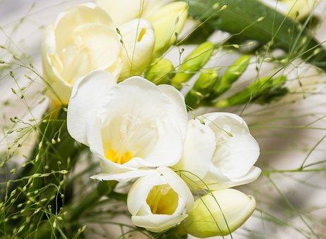 Freesia, White Blossom, Schnittblume, White