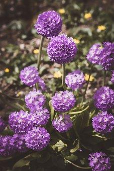 Ball-primrose, Drumstick, Flowers, Garden, Purple