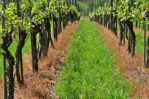 Vineyard, Vines, Winegrowing, Vine, Green, Grapes