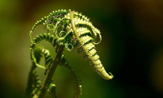 Fern, Green, Plant, Nature, Forest, Leaves, Leaf Fern