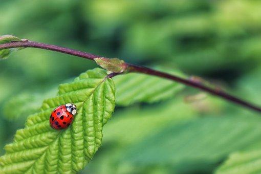 Ladybug, Ladybird, Nature, Insect, Bug, Beetle, Summer