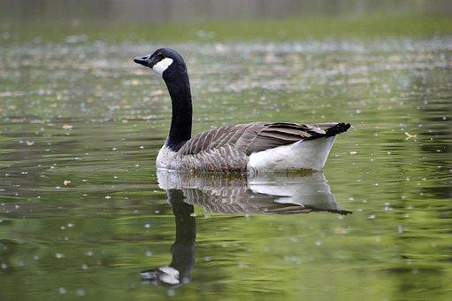 Canada Goose, Water, Mirroring, Lake, Reflections