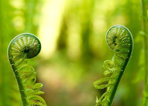 Fern, Green, Plant, Nature, Forest, Leaves, Leaf Fern