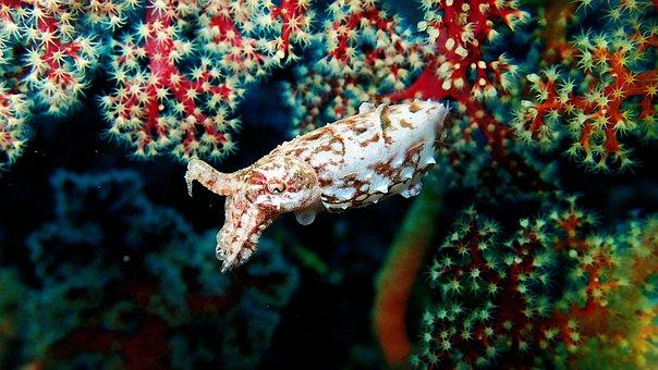 Diving, Macro, Indonesia, Sulawesi, Lembeh, Cuttlefish
