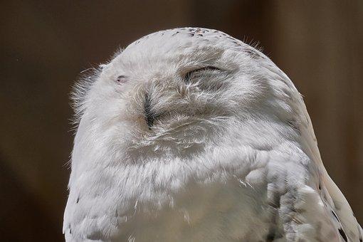 Snowy Owl, Bill, Bird, Owl, Nature, Animal, Birds