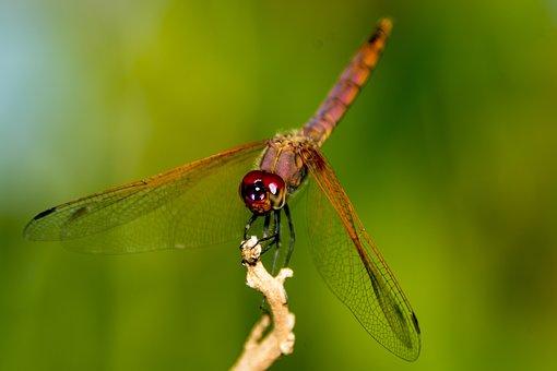 Dragon Fly, Uganda, Nature