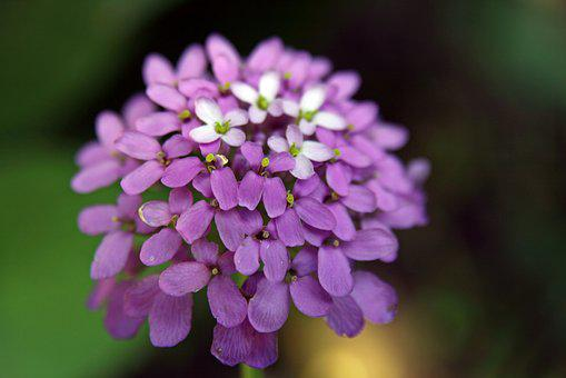 Candytuft, Iberis, Macro, Purple Flower, Nature, Floral