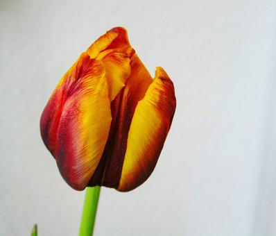 Tulip, Red, Yellow, Orange, Plant, Spring, Flowers