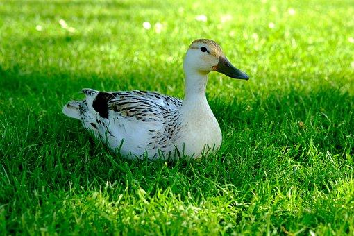 Duck, White, Animal, Water Bird, Bird, Plumage