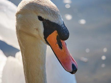 Swan, Water, Swim, White, Purely, Monogamous