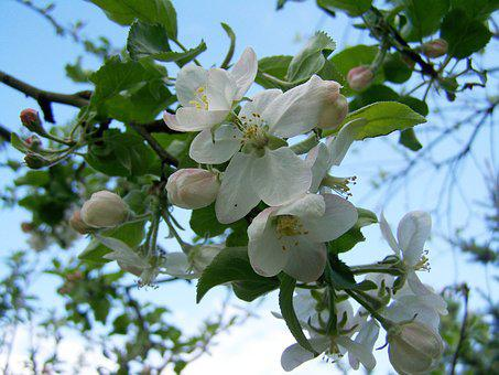 Apple Tree Flower, Fruit Trees In Bloom, Spring