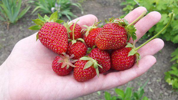 Strawberry, Berry, Summer, Spring, May, Harvest, Garden