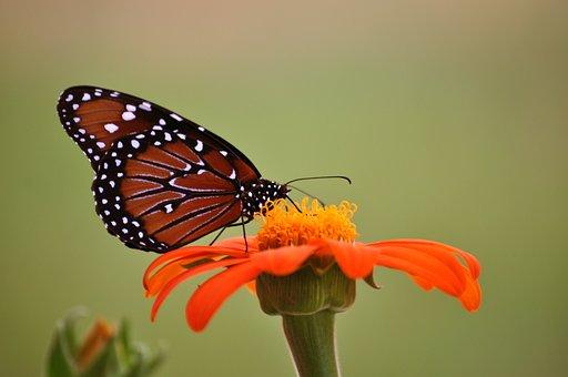 Monarch Butterfly, Butterfly, Sunflower, Orange