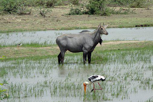 Animal, Wild, Nilgai, Blue Bull