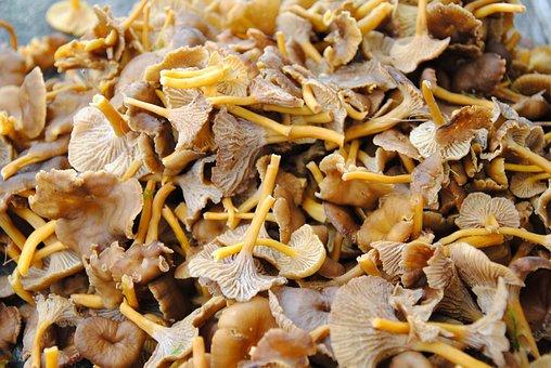 Chanterelle Mushrooms, Funnel Chanterelles, Autumn