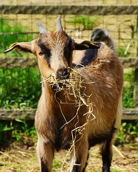 Goat, Young Animal, Billy Goat, Farm, Eat, Animal World