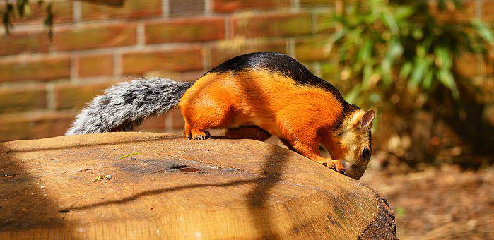 Squirrel, Rotflanken-colorful Squirrel, Orange, Black