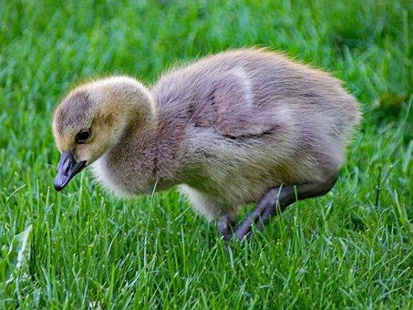 Canada Goose, Goose, Branta, Canadensis, Canada Geese