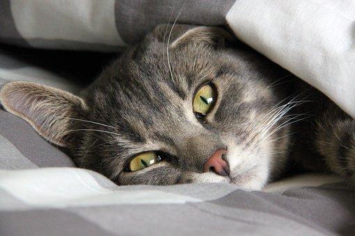 Rest, Cat, Cute Cat, Pets, Striped Cat, Cute, Cat Face