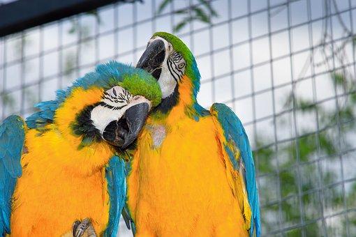 Parrots, Aras, Couple, Tender, Devotional, Enjoy, Color