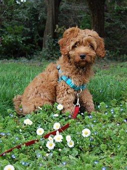 Labradoodle, Australian Labradoodle, Flowers, Dog