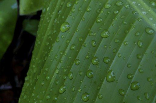 Water Drops On Leaf, Banana Leaf, Drops, Rain, Green