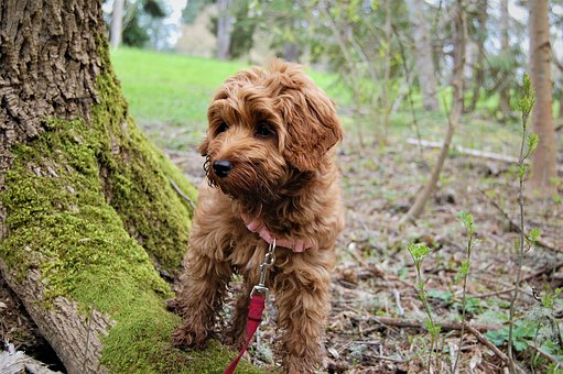 Puppy, Exploring, Mossy Tree, Labradoodle, Park, Dog
