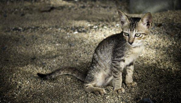 Cat, Animal, Kitten, Pet, Cute, Kitty, Feline, Furry