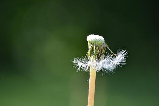 Dandelion, överblommad, Past, Passed, Fjun