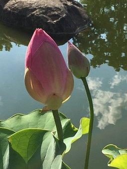 Rockford, Il, Anderson, Garden, Japanese, Lotus, Flower