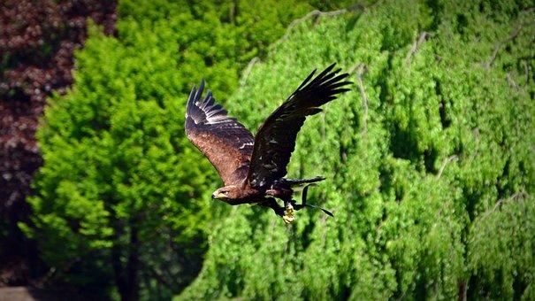 Adler, Bird, Raptor, Flying, Bird Of Prey, Animal