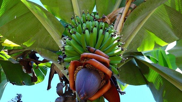 Banana, Bunch Of Banana, Fruit, Health, Healthy Eating