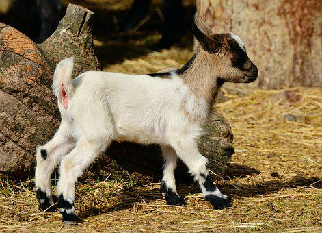 Goat, Young Goat, Young Animal, Kid, Farm, Small Goat