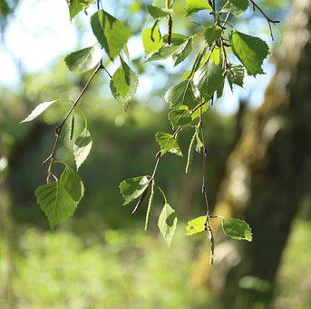 Birch, Leaf, Tree, Björkhänge, Summer, Green, Nature