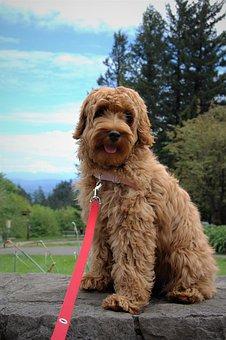 Mt Hood, Puppy, Labradoodle, Cute, Fluffy, Dog, Park