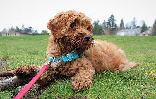 Puppy, Cute, Labradoodle, Leash, Harness, Cute Puppy