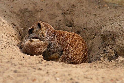 Meerkat, Scramble, Meercat, Mammal, Sweet, Funny