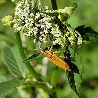 Beetle, Water Sorrel-stem Weevil, Weevil Insect, Nature