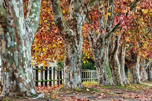 Plane Tree, Autumn, Leaves, Fall, Season, Nature