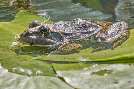 Amphibian, Frog, Water Frog, Tree Frog, Pond, Frog Pond