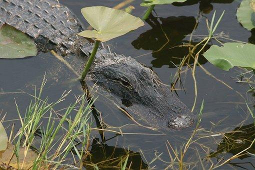Alligator, Florida, Everglades, Predator, Usa