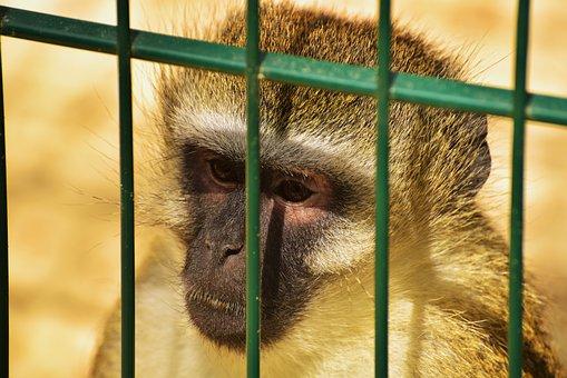 Monkey, Primate, Cage, Grid, Animal, Mammal, Imprisoned