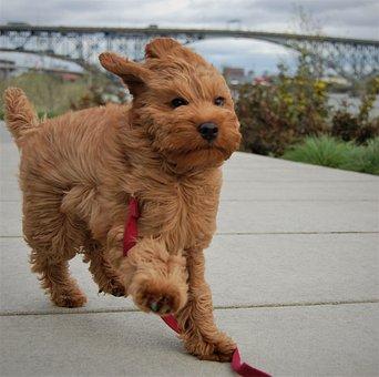Windy, Wind, Puppy, Labradoodle, Williamette